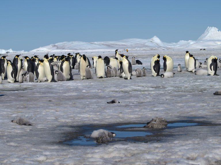 Colônias de pinguins imperadores desconhecidas são reveladas na Antártida por satélite