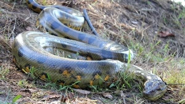 Cobras 1 600x337, Fatos Desconhecidos