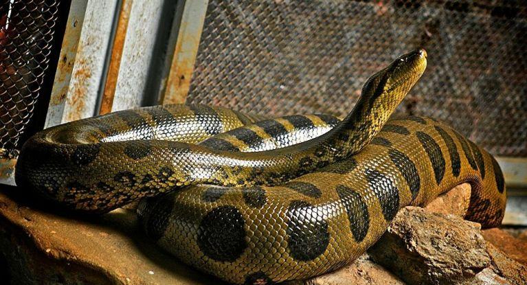 6 maiores cobras do reino animal