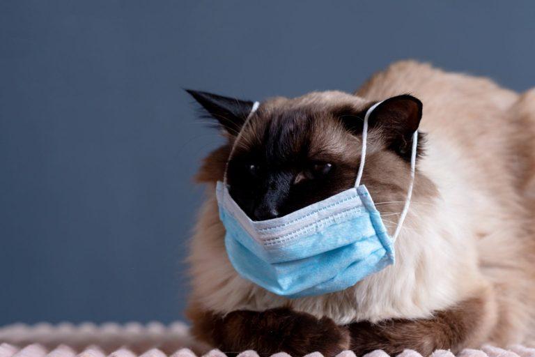 Estudo conclui que gatos podem ser muito infectados por Covid-19