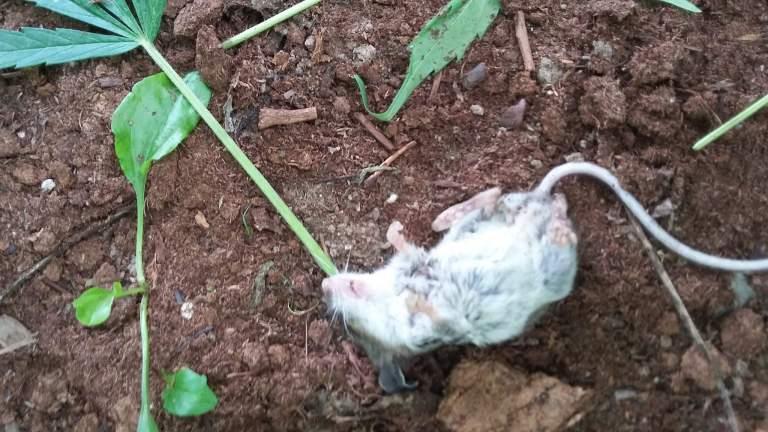 Esse rato invadiu uma plantação de maconha e ficou doido por dois dias seguidos