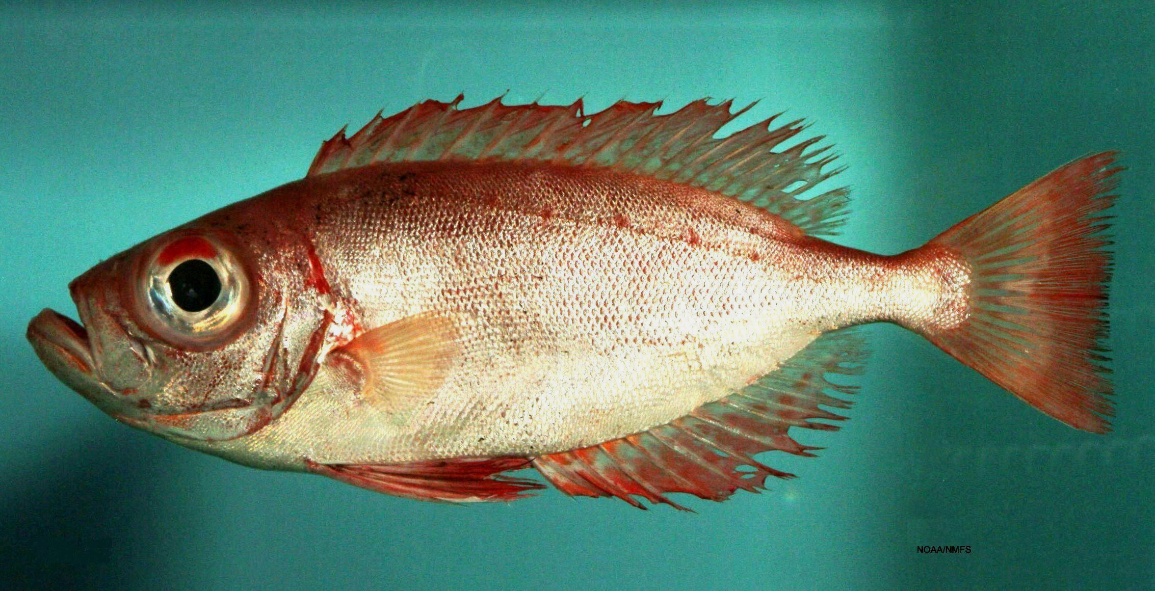 Alguns peixes conseguem regenerar seus olhos
