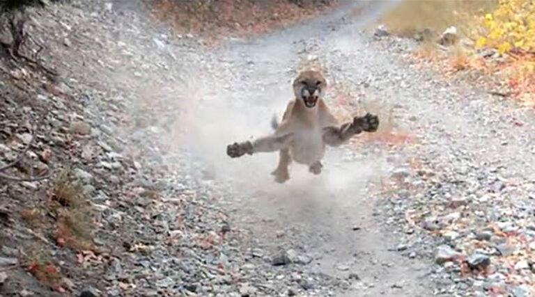 Homem filma leão da montanha o perseguindo por 6 minutos