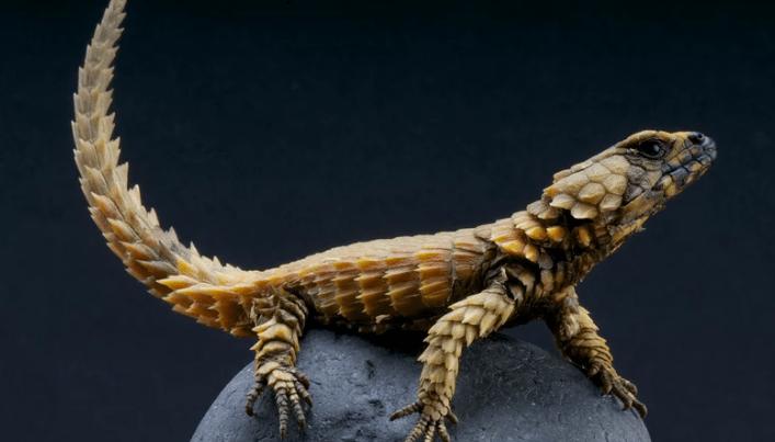 Esse lagarto se impressionantemente parecido com um filhote de dragão