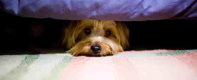 Estudo mostra os efeitos de gritar com seu cachorro a longo prazo
