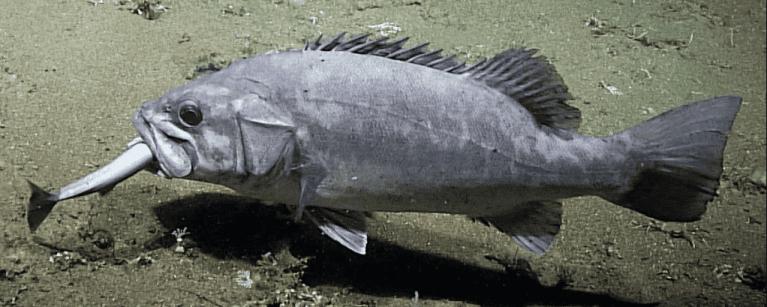 Cientistas registram imagens extremamente raras de peixes do fundo do mar comendo um tubarão inteiro