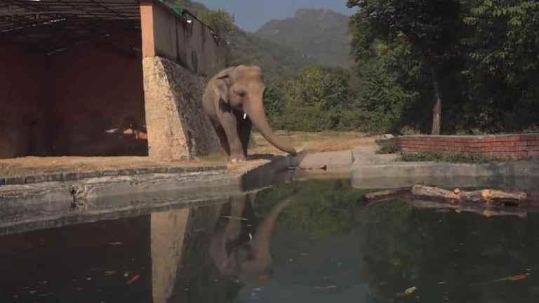 Kaavan, o elefante mais solitário do Paquistão, ganha uma nova casa