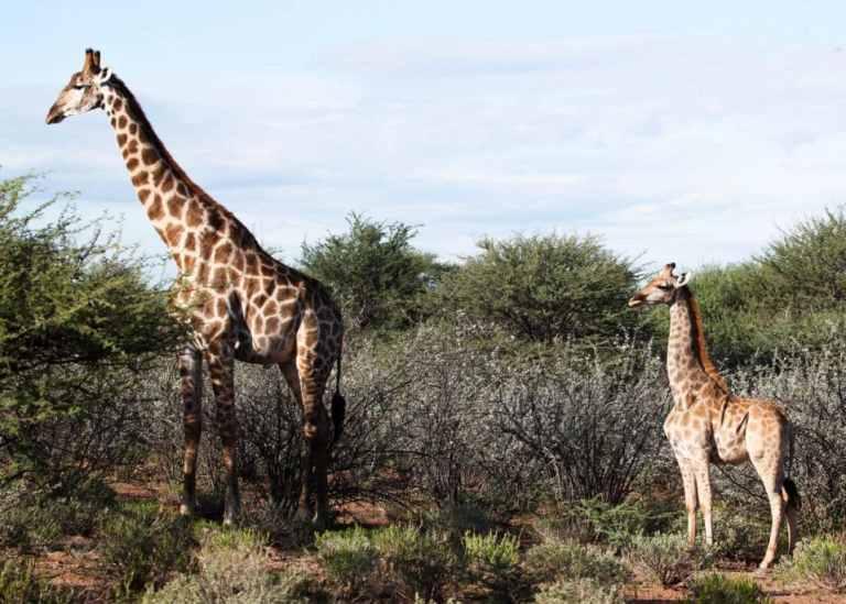 Adoráveis girafas anãs são avistadas pela primeira vez