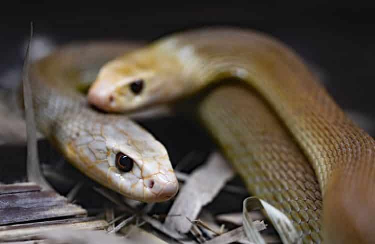 Homem passa 72 horas com 72 cobras venenosas em um recinto de vidro