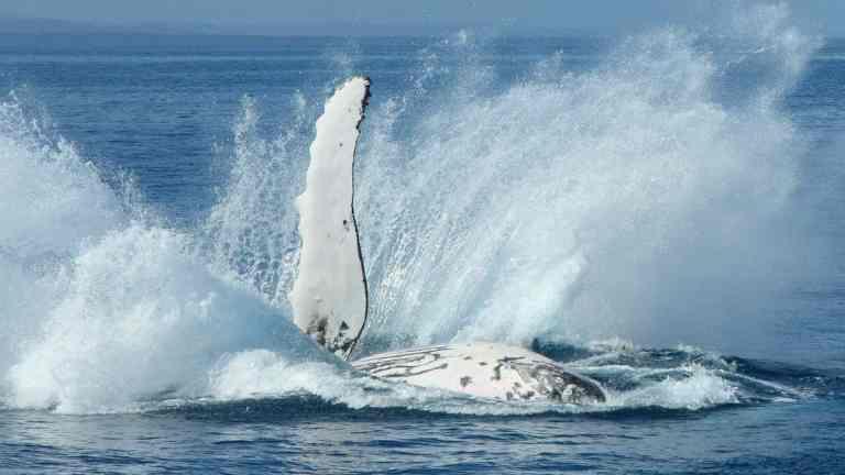 Baleia jubarte sobrevive a ataque de gangues de orcas