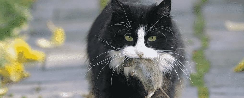 Cientistas encontram nova maneira de gatos caçarem menos vida selvagem