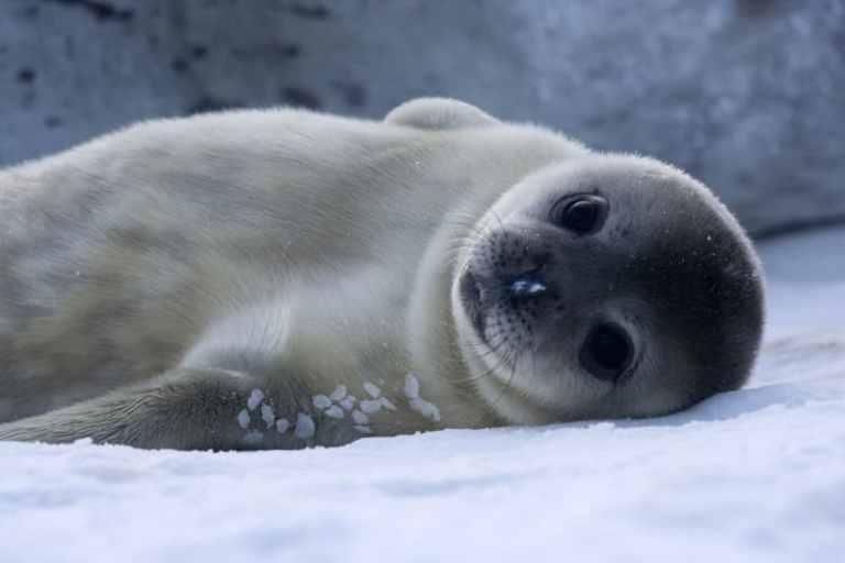 Focas do Ártico experimentam dramática perda de peso