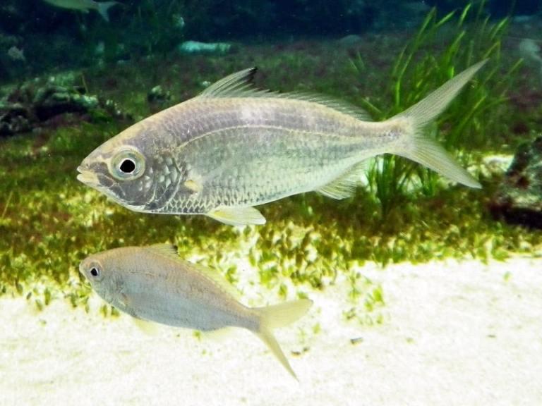 Colombiano retira peixe de 18 centímetros da garganta