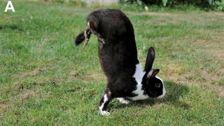 Existe uma razão genética para esse coelho andar em suas patas dianteiras