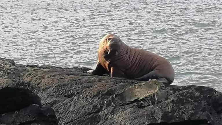 Morsa adormece em iceberg e acorda na Irlanda