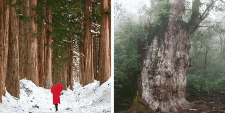 É assim que os japoneses produzem madeira sem derrubar árvores