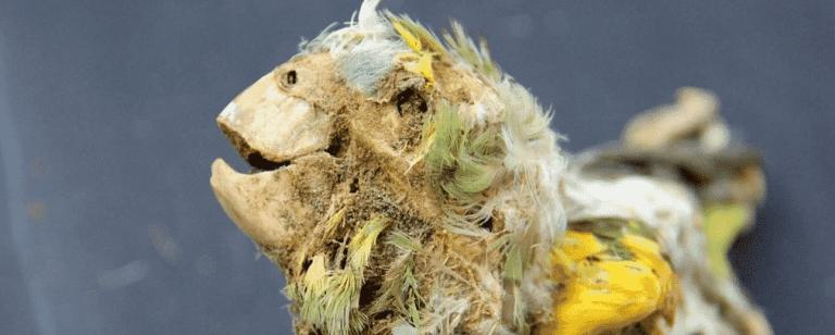 Pássaros mumificados revelam um lado obscuro da história