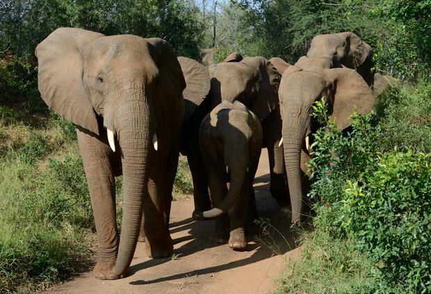 Caçador é pisoteado por elefantes na África do Sul
