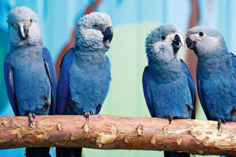 Considerada extinta desde 2000, filhotes de arara-azul nasceram no Brasil