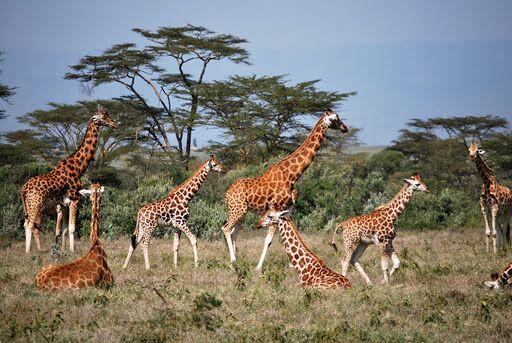 Girafas tem vida social altamente complexa