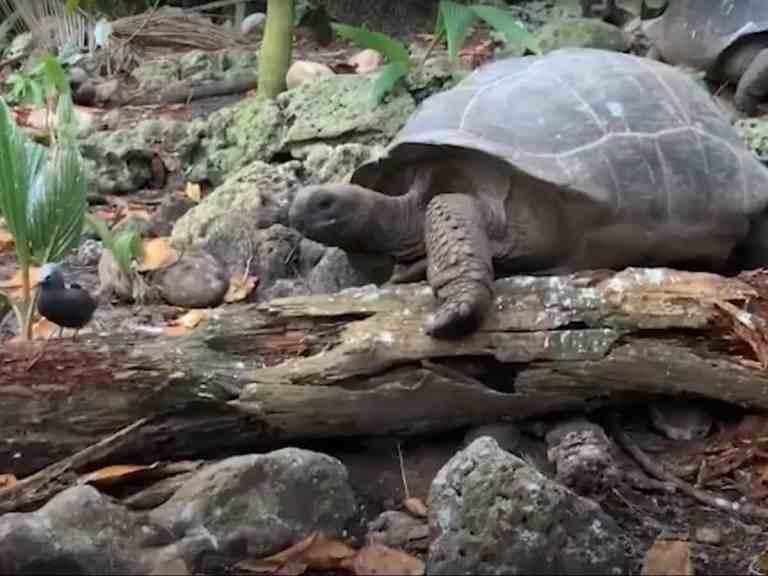 Tartaruga foi filmada pela primeira vez indo caçar