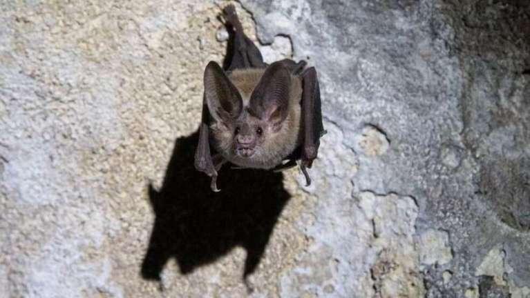 Murmúrio de bebês morcegos e bebês humanos são surpreendentemente parecidos