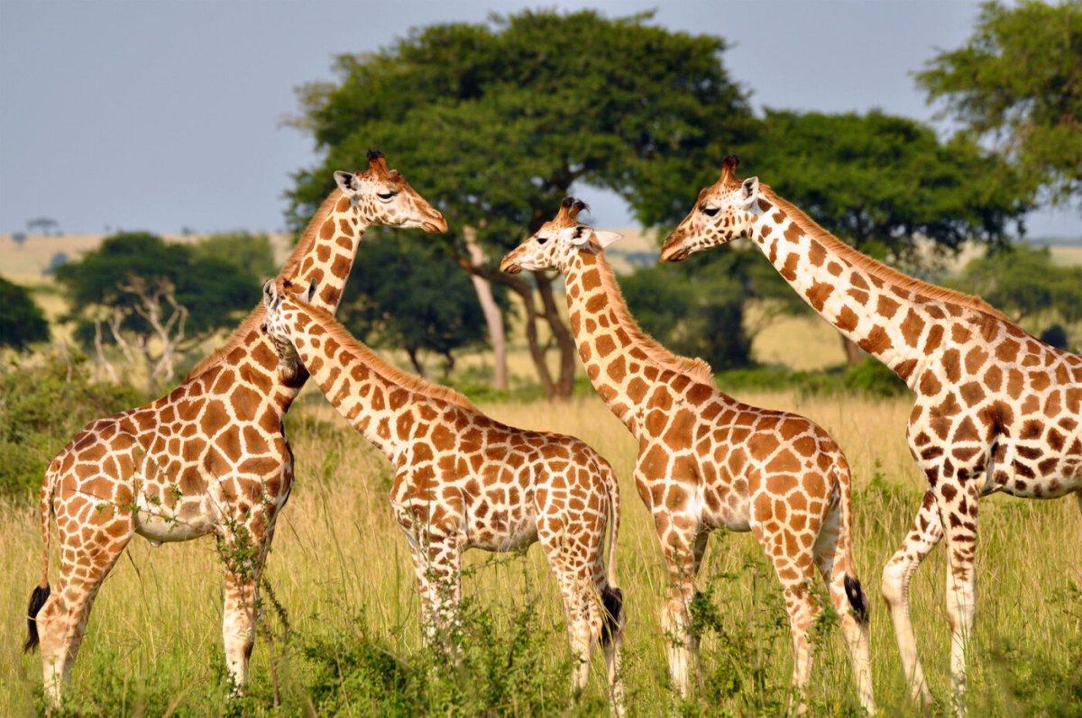 Girafa3 1400x930, Fatos Desconhecidos
