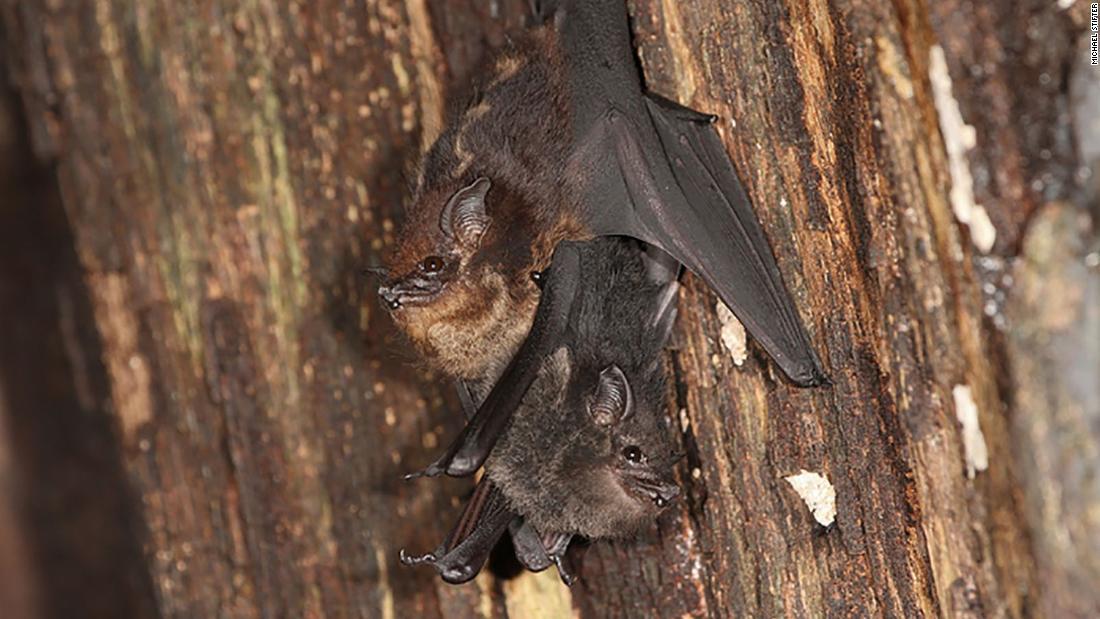Morcego1 1100x619, Fatos Desconhecidos