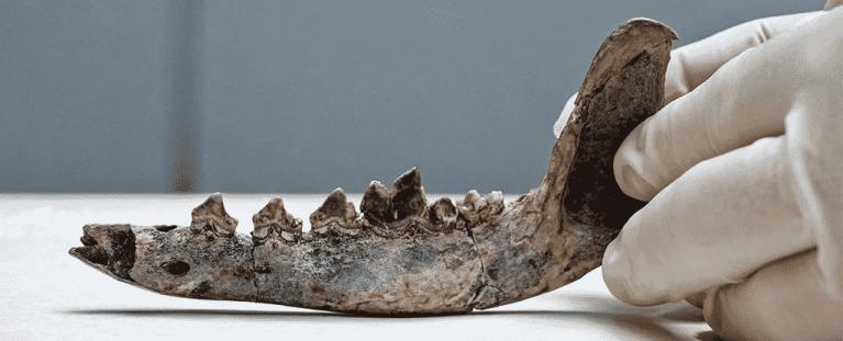 Mandíbula de 12 mil anos pode ser do cachorro mais velho das Américas