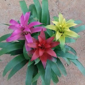 flor Bromúlia Floricultura man nova odessa fatos e eventos