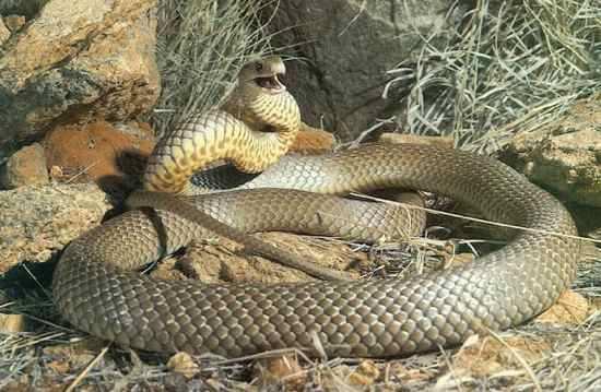 Cobras venenosas nova odessa fatos e eventos (4)