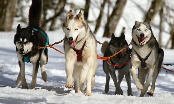 Cães que vivem muito bem na neve nova odessa fatos e eventos (8)
