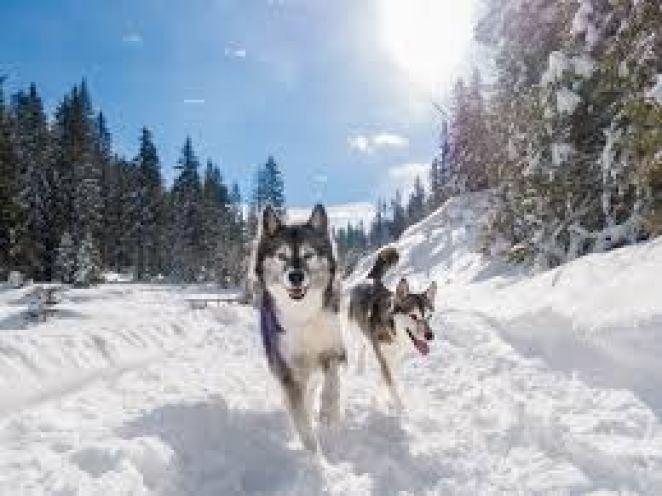 Cães que vivem muito bem na neve nova odessa fatos e eventos (9)