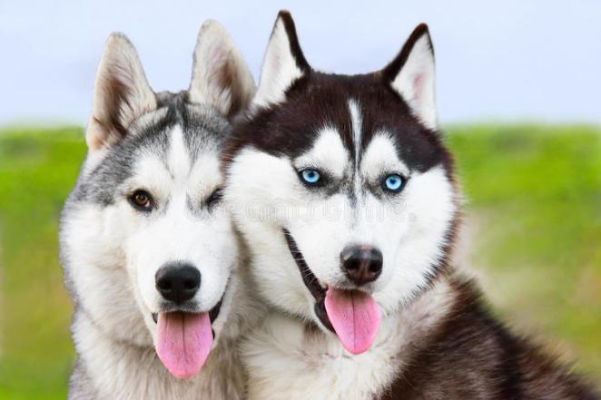 Cães que vivem muito bem na neve nova odessa fatos e eventos (11)