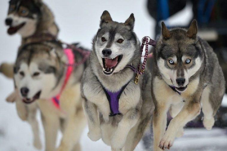 Cães que vivem muito bem na neve nova odessa fatos e eventos