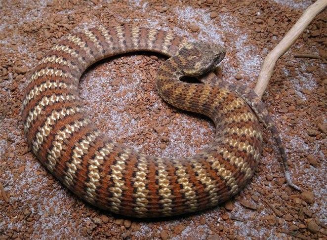 Cobra-da-morte nova odessa fatos e eventos