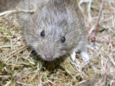 østmarkmus mus