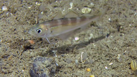 øyepål MAREANO Havforskningsinstituttet