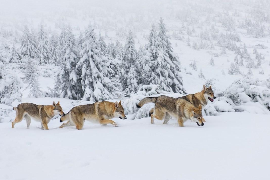 ulv flokk jakt snø villmark ulvejakt