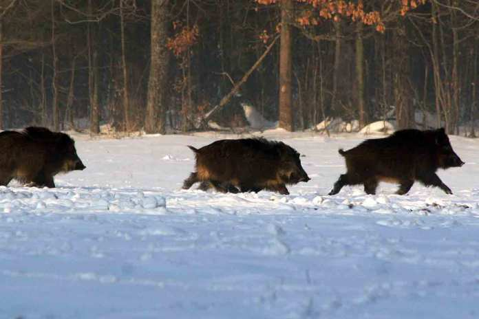 villsvin wikipedia jakt ulv