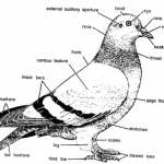 PIGEON DISSECTION