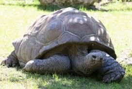 TESTUDO : GIANT TURTLE