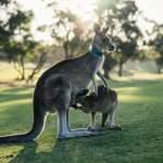 australia, kangaroo, outback
