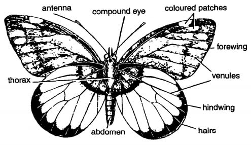 PAPILIO (BUTTERFLY) DIAGRAM INSECT ARHTROPODA