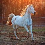 EQUUS CABALLUS (HORSE)