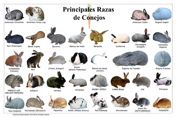 conejos-razas