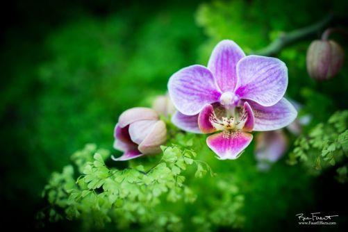 Phalaenopsis Orhid