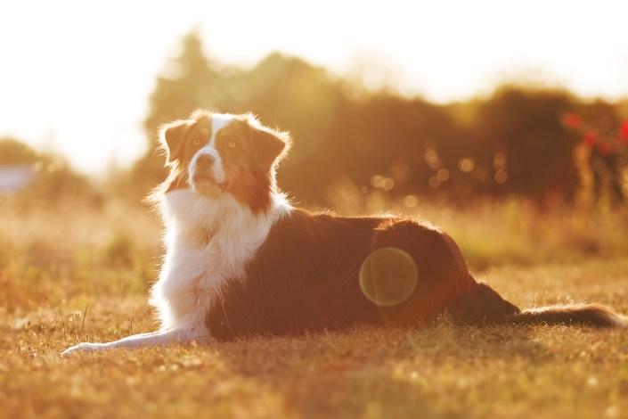 photographie chien berger australien