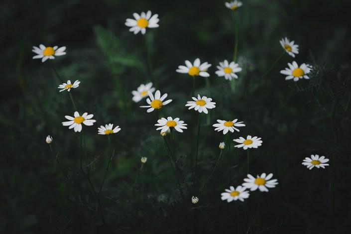 petite fleurs blanche et jaune