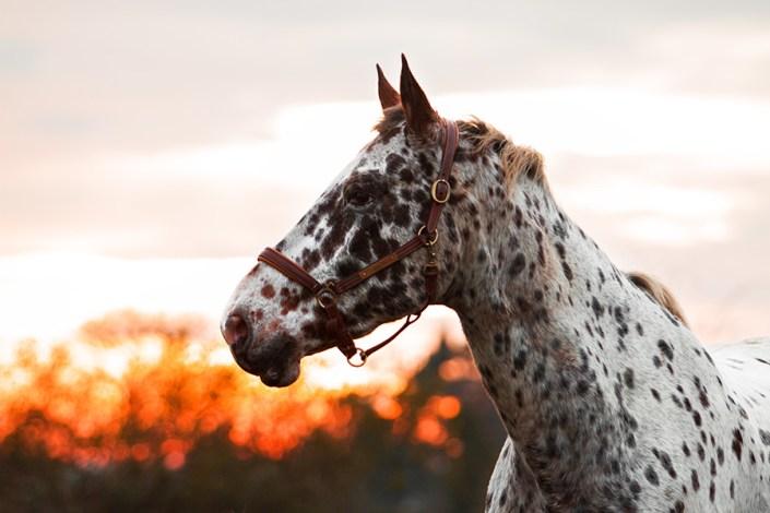 Portrait équin cheval appaloosa